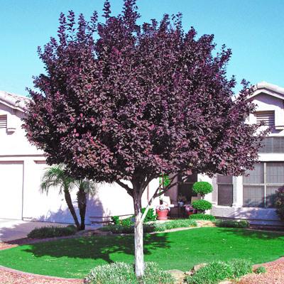 Thundercloud Purple Leaf Plum Tree Overview Bed Mattress